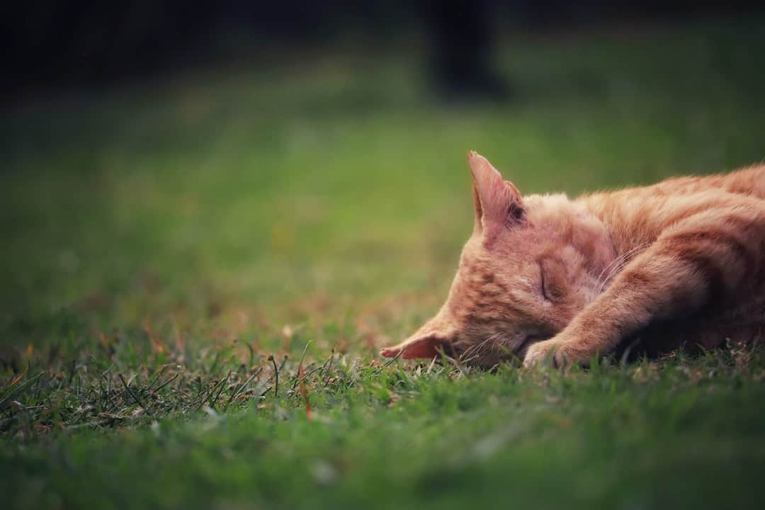 A cat lying on top of a grass covered field