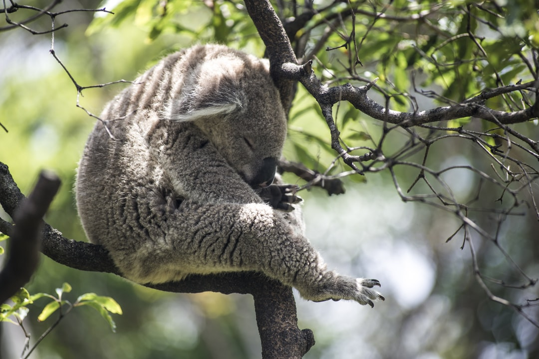 A koala eating leaves from a tree branch
